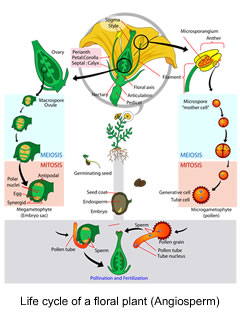 Life cycle of a floral plant (Angiosperm)