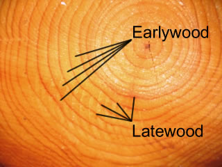 Earlywood and Latewood Growth Rings