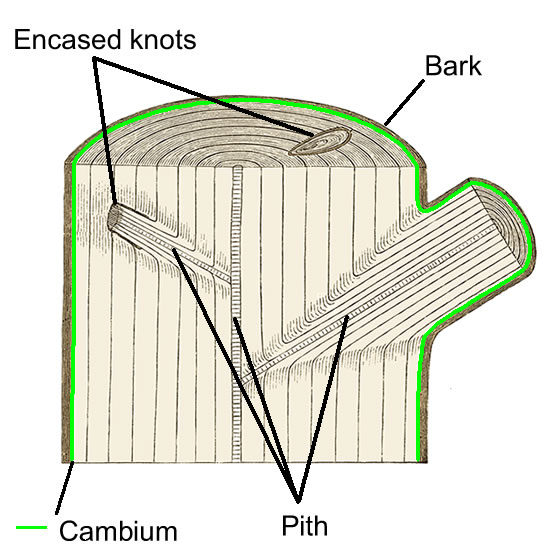 Cross Section of Timber showing the Cambium